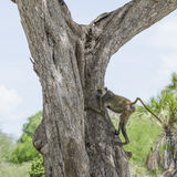 Yellow baboon in tree Royalty Free Stock Image