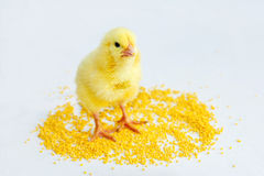 Yellow baby chick 1. Yellow baby chick on a white background with millet Stock Image
