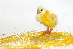 Yellow baby chick. On a white background with millet Stock Image