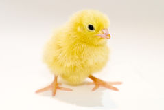 Yellow baby chick. A yellow baby chick on an isolated white background Royalty Free Stock Photography