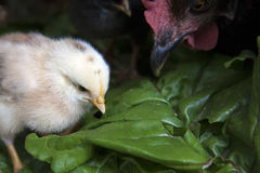 Yellow Baby Chick With Mother Hen Stock Photos