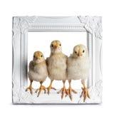 Yellow baby chick on white stock photo