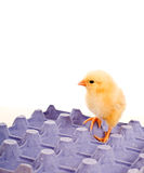 Yellow baby chicken standing on blue egg carton Royalty Free Stock Photos