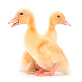 Yellow baby duck Royalty Free Stock Image