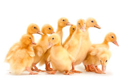 Yellow baby duck Royalty Free Stock Photos