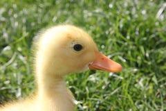 Yellow baby duck Stock Photos