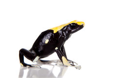 Yellow back dyeing poison dart frog, Dendrobates tinctorius, on white Royalty Free Stock Photo
