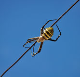 Yellow back spider Royalty Free Stock Photography