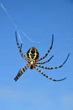 Yellow back spider Stock Images