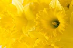 Yellow backdround. Daffodil background Royalty Free Stock Photo