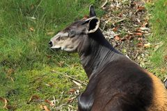 Yellow-backed duiker. Lying in the grass Stock Photos