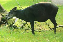 Yellow-backed duiker. Standing in the grass Stock Photos