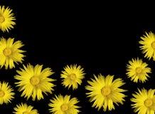 Yellow background calendula sunflowers on black Stock Photo