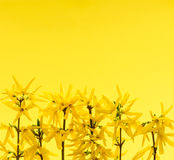 Yellow background with forsythia flowers Stock Photo