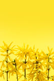 Yellow background with forsythia flowers Royalty Free Stock Photography