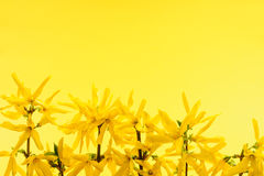 Yellow background with forsythia flowers Stock Image