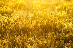 Yellow background from a grass Royalty Free Stock Photo