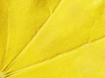 Yellow background, maple leaf, macro, close-up stock photo