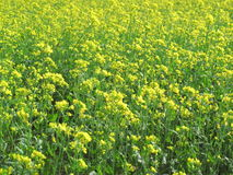 Yellow background mustard field Nepal Stock Images