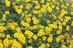 Yellow Background Wildflowers Royalty Free Stock Photos