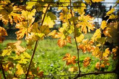 Yellow backlighted vine leaf in vineyard in the autumn royalty free stock photo