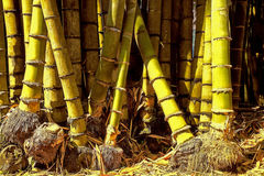 Yellow Bamboo. Growing tropical regions, botanical garden Bogor Royalty Free Stock Image