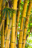 Yellow bamboo. Royalty Free Stock Image