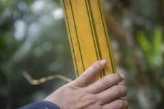 Amazon yellow bamboo. Yellow bamboo in the Amazon jungle Royalty Free Stock Photos