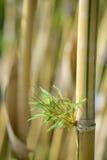 yellow bamboo Royalty Free Stock Photos
