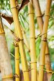 Yellow bamboo close up Royalty Free Stock Image