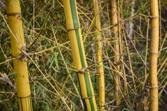 Yellow bamboo effect royalty free stock image