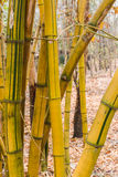 Yellow bamboo Royalty Free Stock Images