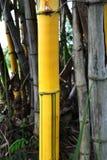 Yellow bamboo Stock Photo