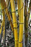 Yellow bamboo Stock Photos