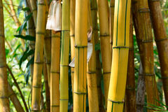 Yellow bamboo forest Stock Image