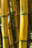 Yellow bamboo forest Royalty Free Stock Photos