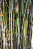 Yellow Bamboo forest natural background Royalty Free Stock Photos