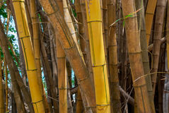 Yellow Bamboo Forest. Stalks of yellow bamboo grow along the coast in Costa Rica Stock Photo