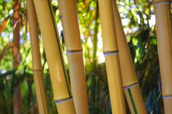 Yellow Bamboo Forest with Sunny Background Stock Photos