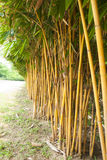 Yellow bamboo. Stock Images