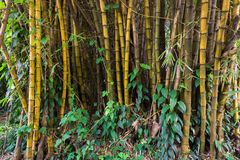 Yellow bamboo groove with bush at National Conservation Kebun Raya Bogor photo taken in Bogor Indonesia Stock Photography