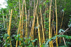 Yellow bamboo plant. In the gardens Stock Photography