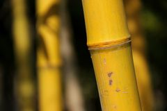 Yellow Bamboo Stock Images