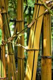 Yellow bamboo in sunlight, Botanical Garden Taipei stock image