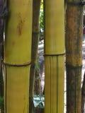 Yellow bamboo tree closeup. Royalty Free Stock Image