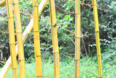 Yellow bamboo tree. Green bamboo trees at forest Royalty Free Stock Photography