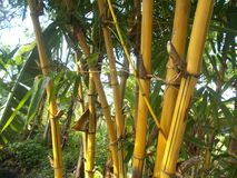 Yellow bamboo tree at the morning stock images