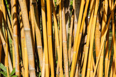 Yellow Bamboo trunks Royalty Free Stock Photography
