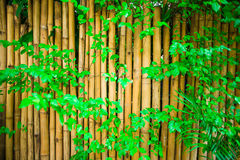 Yellow bambooand green leaf  fence, background Royalty Free Stock Photo
