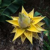 Yellow banana blossom Royalty Free Stock Photography